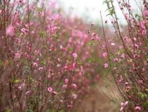 Thăm quan vườn hoa Anh Đào Cam Lâm bằng vé máy bay đi Nha Trang