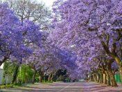Con đường ngập tràn phượng tím quyến rũ tại Nam Phi